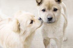 亲吻小狗 免版税库存照片