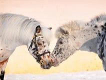 亲吻小马的阿帕卢萨马 免版税库存照片
