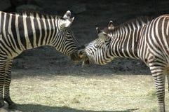 亲吻斑马的马 免版税库存照片