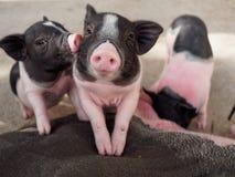 亲吻桃红色和黑的猪显示爱和友谊 免版税库存图片