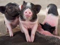 亲吻桃红色和黑的猪显示爱和友谊 免版税库存照片