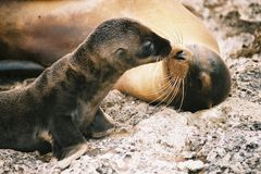 亲吻海狮 库存照片
