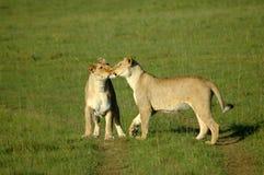 亲吻狮子 免版税库存照片