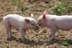 亲吻猪 免版税库存图片