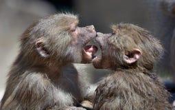 亲吻猴子 免版税库存图片