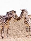 亲吻空间二斑马的非洲复制 库存照片
