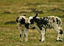 亲吻羊羔 库存照片
