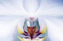 亲密的兰花兰花植物 免版税图库摄影