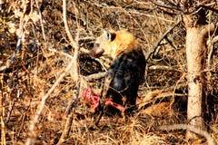亲爱的吃鬣狗 库存照片