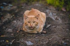 亲爱的姜小猫 免版税库存照片