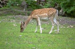 亲爱的獐鹿 免版税库存图片