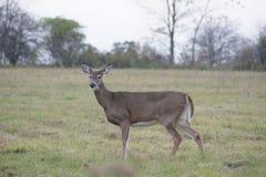 亲爱的鹿在grasss中站立 库存图片