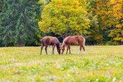 亲吻在一个高山草甸的两只驹 库存图片