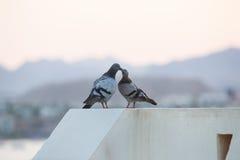 亲吻在屋顶的鸽子 免版税库存照片
