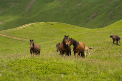 亲吻在山中的草甸的两匹马 免版税库存照片