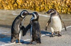 亲吻在海滩的非洲企鹅 免版税库存图片