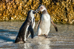 亲吻在海滩的非洲企鹅 库存照片