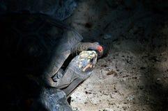 亲吻在洞的两只草龟 免版税库存照片