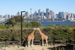 亲吻在Taronga动物园里的两头长颈鹿在悉尼 库存图片