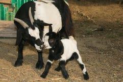 亲吻她的母亲的小山羊 库存照片
