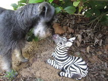 亲吻斑马玩具的狗 免版税库存照片