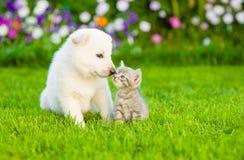 亲吻白色瑞士牧羊人` s puppyon绿草的小猫 免版税库存图片