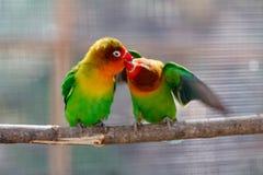 亲吻美丽的绿色爱情鸟鹦鹉 免版税图库摄影