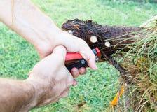 人与园艺剪刀的切口分支 图库摄影