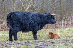黑人与棕色小牛的母亲苏格兰高地居民母牛 免版税库存图片