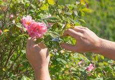 人与pruner的切口玫瑰 拿着剪枝夹的手 免版税库存照片