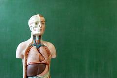 人为人体模型 生物课 解剖学教具 库存照片