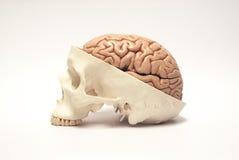 人为人脑和头骨模型 免版税库存图片