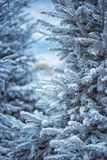 人为积雪的冷杉木在城市马赛 用雪报道的杉树分支,关闭 锋利的霜 库存图片