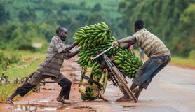 年轻人乘在路的自行车是幸运每卖的大连接香蕉在市场上 免版税库存照片