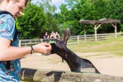 人人在农场喂养羊羔或山羊 免版税库存图片