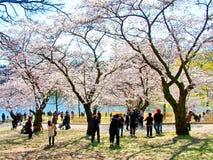 人们享用春天樱花在多伦多` s,高公园 免版税库存图片