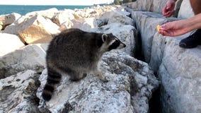 人们哺养在湖岸的狂放的浣熊曲奇饼  股票视频