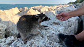 人们哺养在湖岸的狂放的浣熊曲奇饼  股票录像