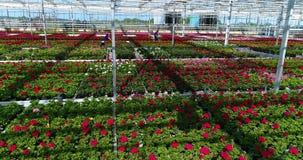人们自温室,有花的,人们一间温室工作与花一起使用自温室,生长植物  股票录像