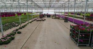 人们自温室,有花的,人们一间温室工作与花一起使用自温室,生长植物  影视素材