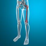 人体和骨骼股骨x光芒  皇族释放例证