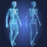 人体和骨骼 库存图片