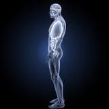 人体器官有解剖学侧面视图 库存图片
