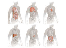 人体器官的例证 免版税库存图片