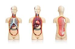 人体器官 免版税库存图片