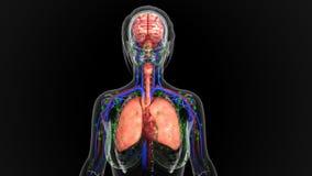 人体器官 免版税库存照片
