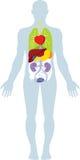 人体器官 图库摄影