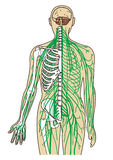 人体神经路线 库存照片