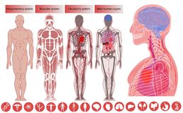 人体解剖学,医疗教育 向量例证
