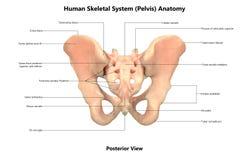 人体骨骼系统骨盆后部视图解剖学 库存例证